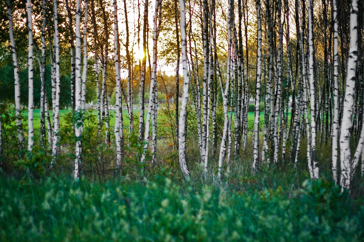Birch Full HD