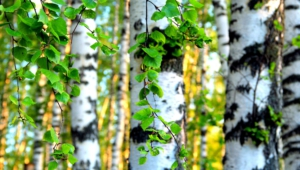 Birch Wallpaper For Windows