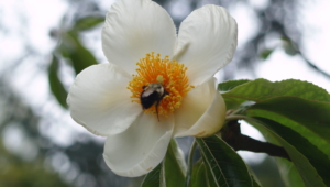Franklinia HD Wallpaper