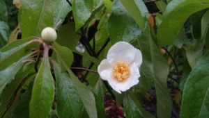 Franklinia Wallpaper