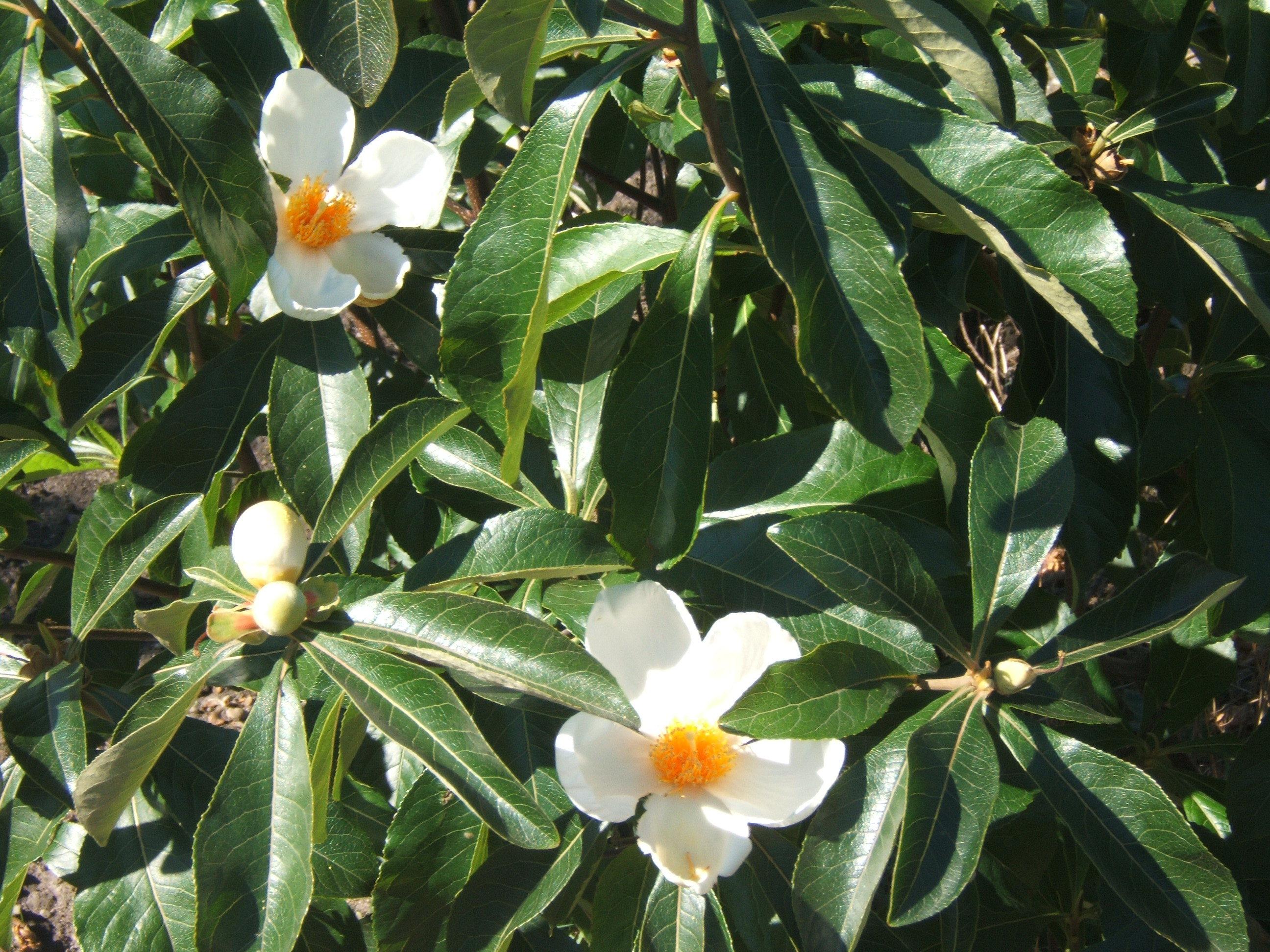 Franklinia Wallpapers