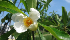 Franklinia Widescreen