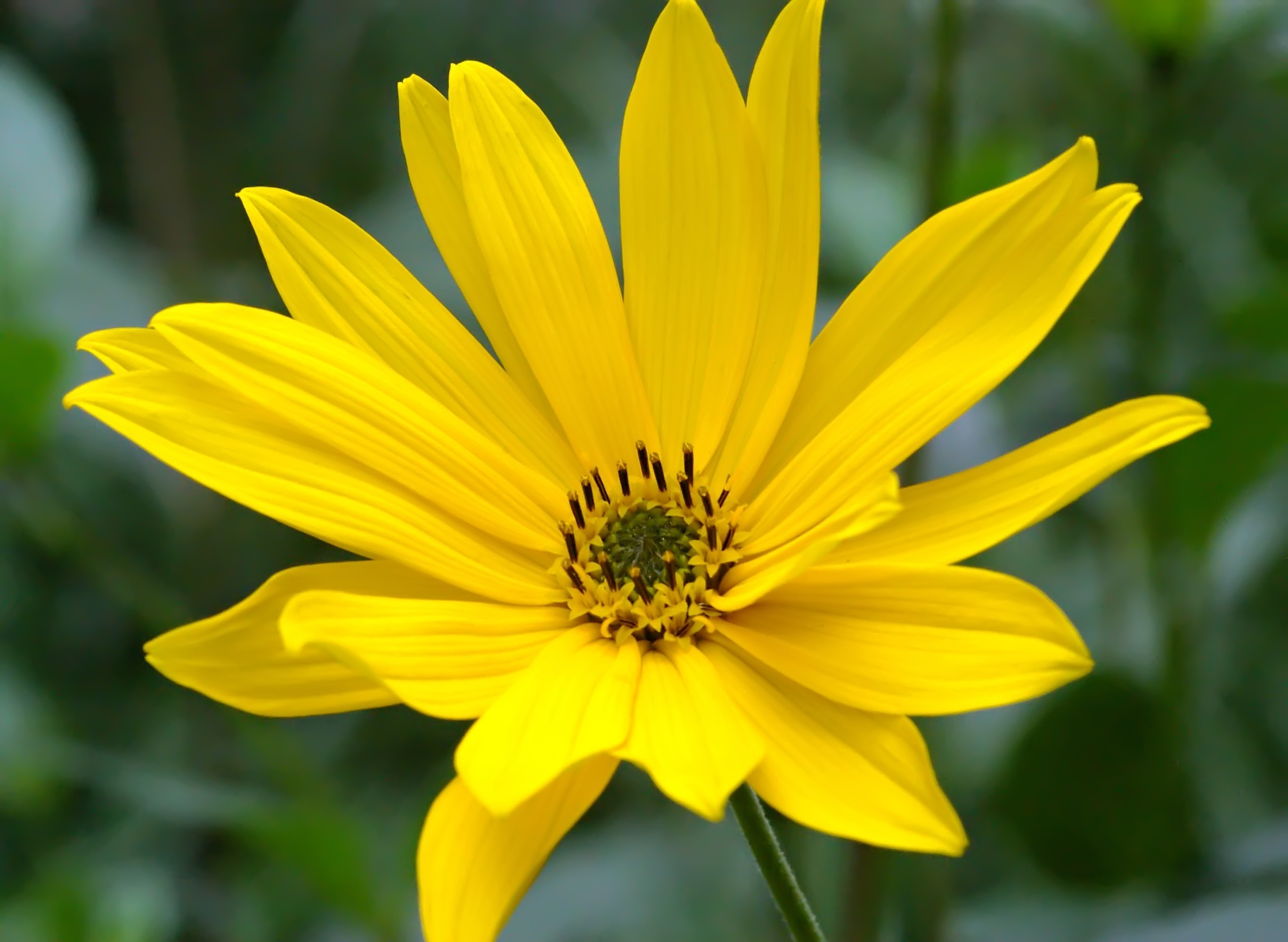 Helianthus Schweinitzii Background
