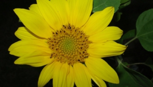 Helianthus Schweinitzii HD Background