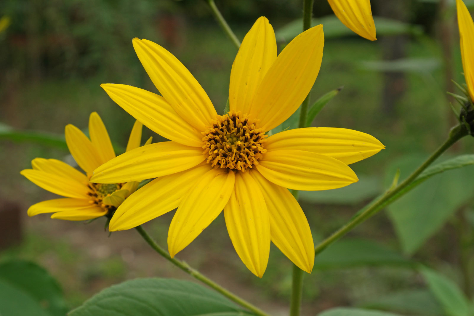 Helianthus Schweinitzii High Quality Wallpapers