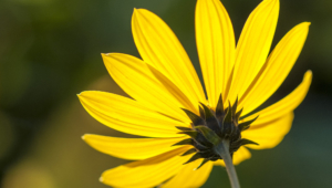 Helianthus Schweinitzii Wallpaper For Computer