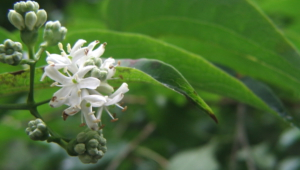 Heptacodium Miconioides Background