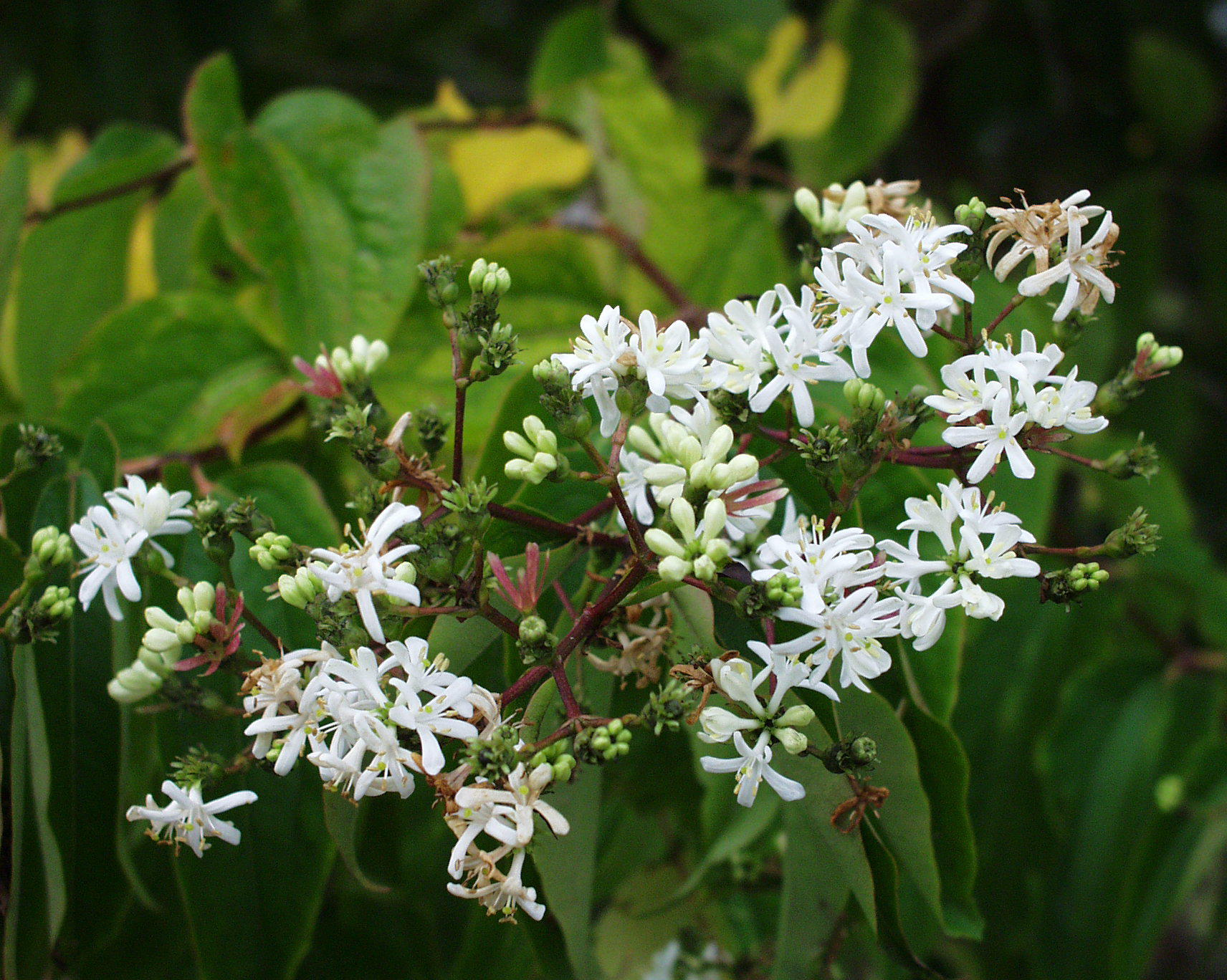 Heptacodium Miconioides High Definition Wallpapers
