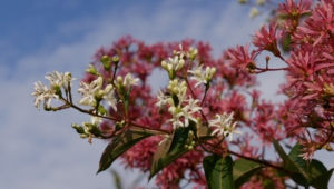 Heptacodium Miconioides High Quality Wallpapers