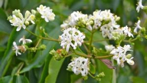 Heptacodium Miconioides Pictures