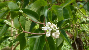 Heptacodium Miconioides Wallpapers HD