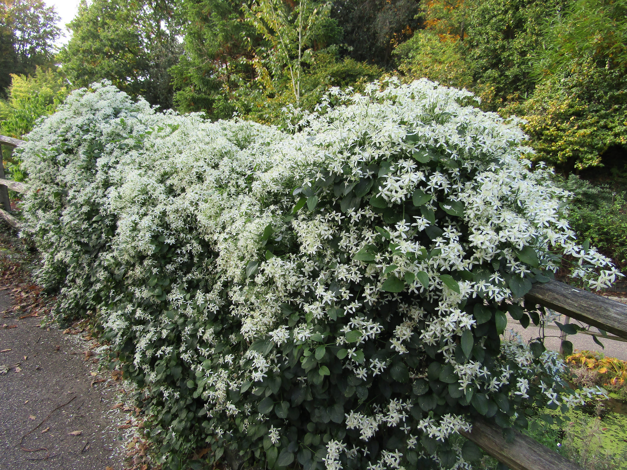 Heptacodium Miconioides Wallpapers