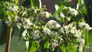 Heptacodium Miconioides For Desktop