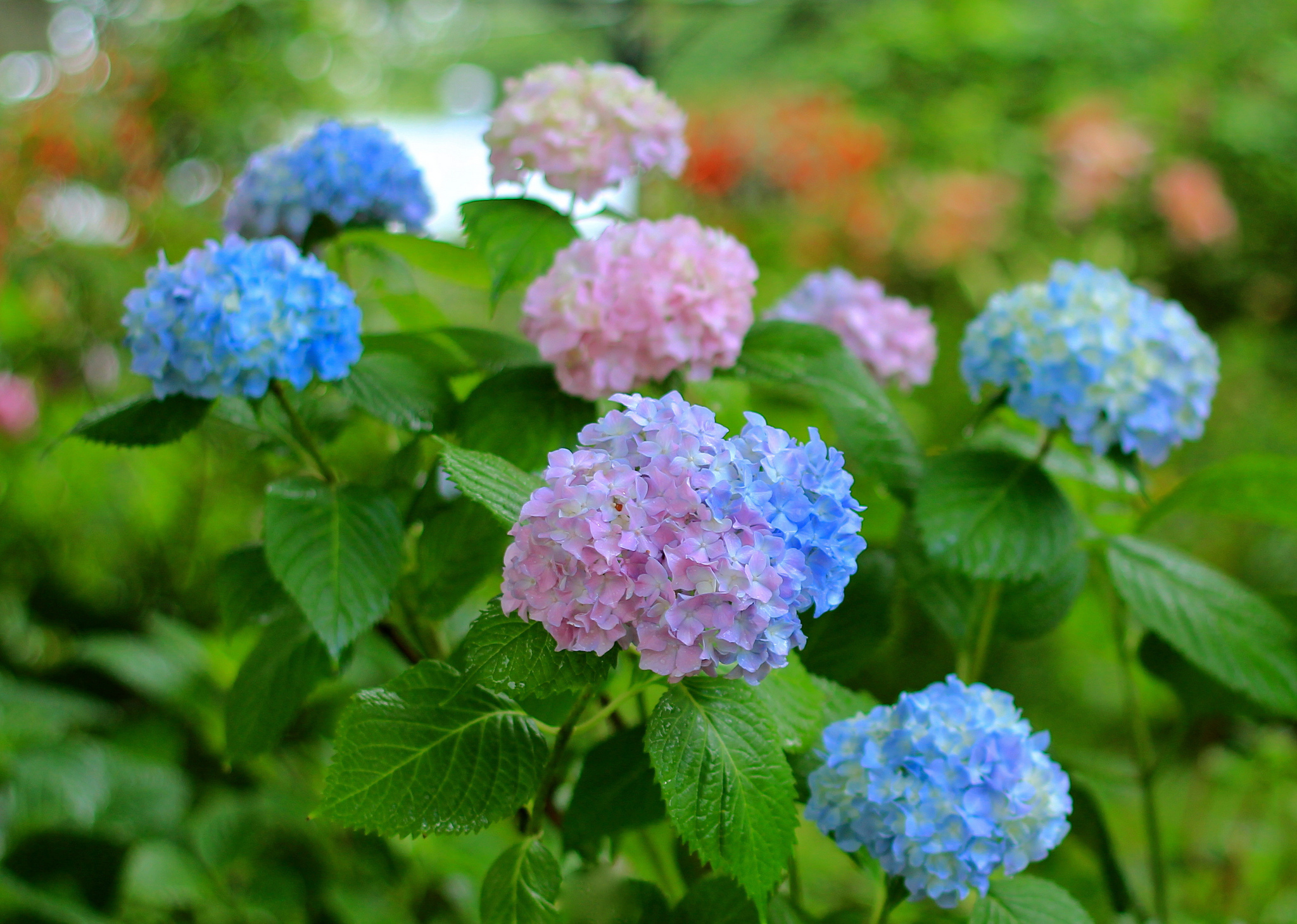 Hydrangea Computer Backgrounds