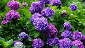 Hydrangea HD Background