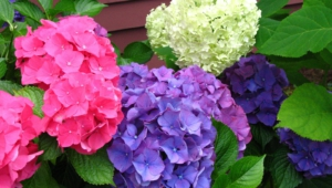 Hydrangea High Definition