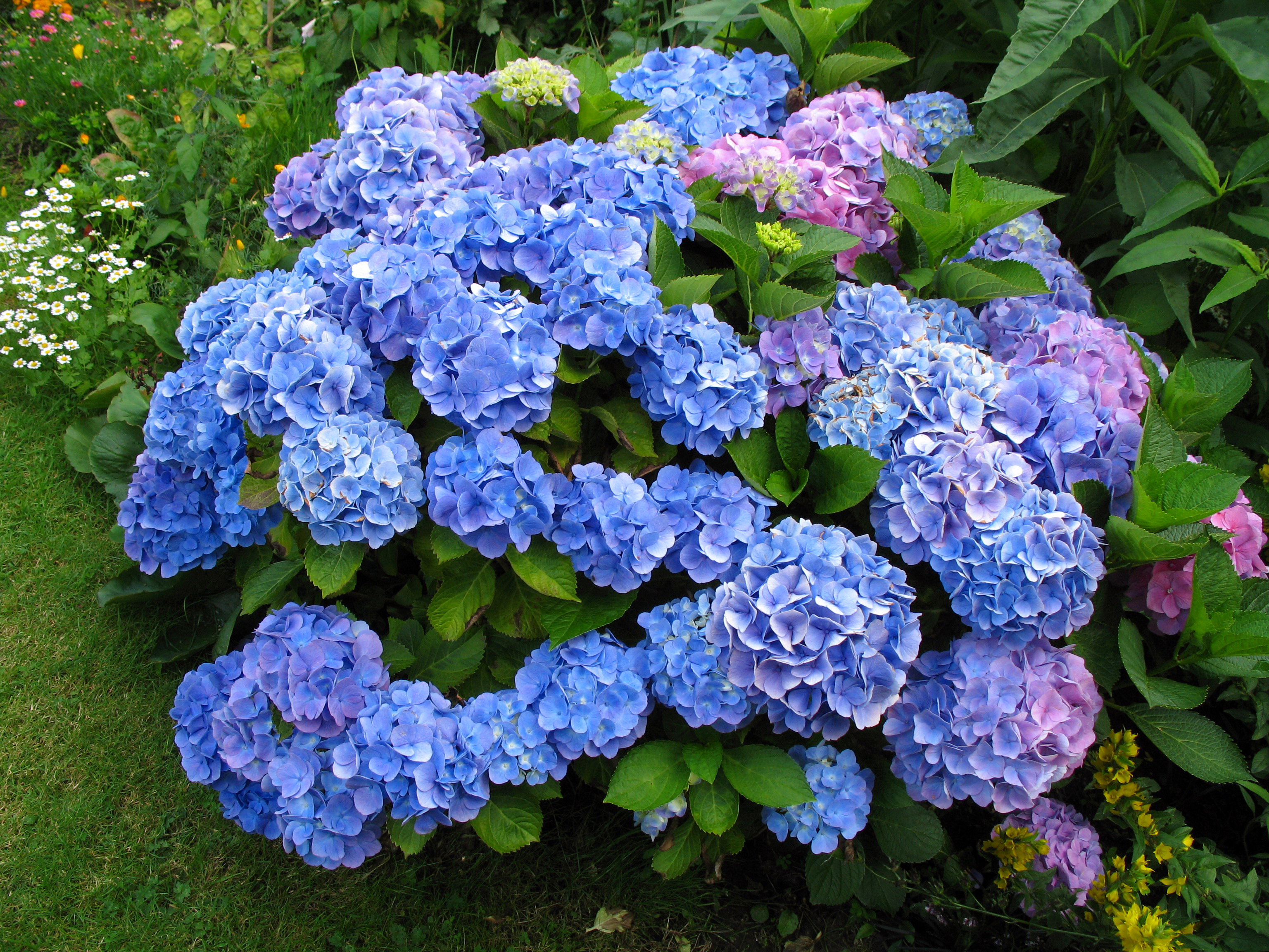 Hydrangea High Definition Wallpapers