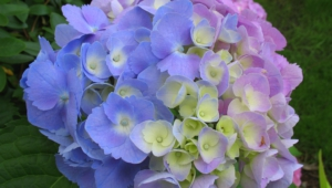 Hydrangea High Quality Wallpapers