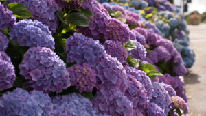 Hydrangea Wallpaper For Computer
