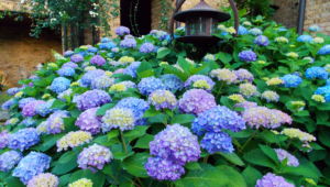 Hydrangea Wallpapers HD
