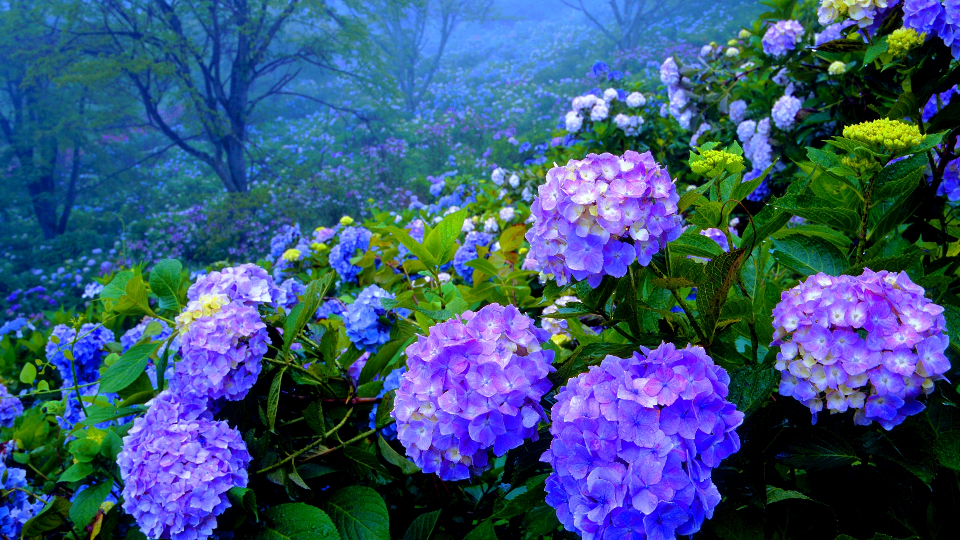 Hydrangea For Desktop