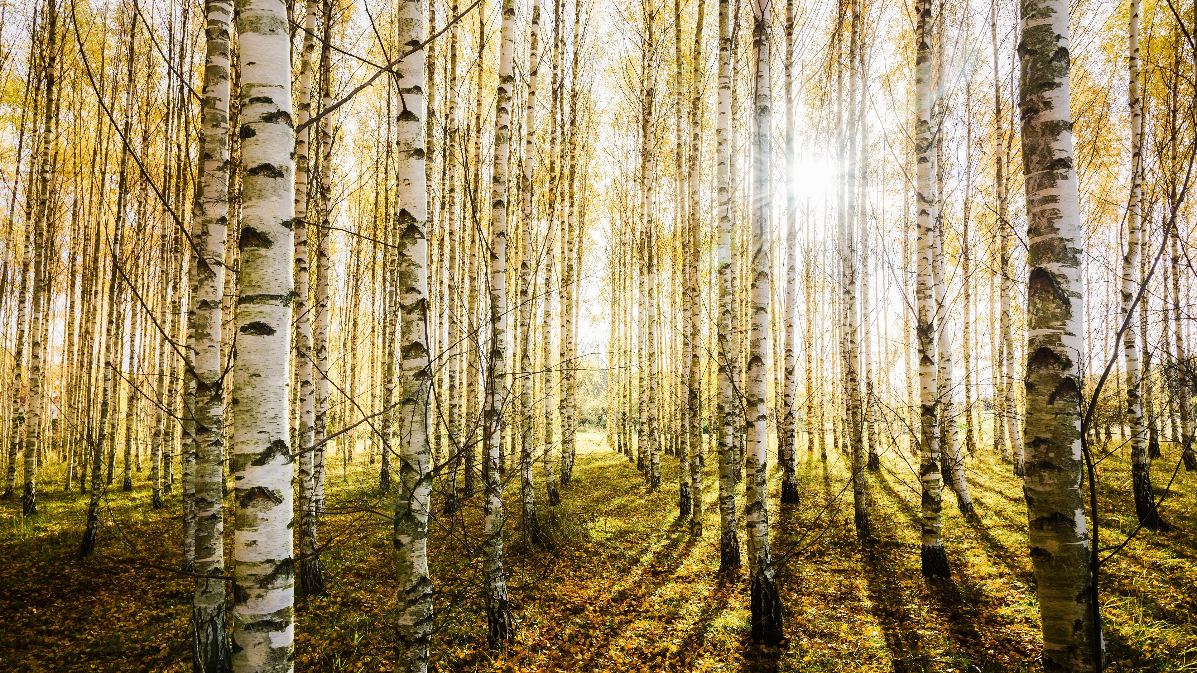 Images Of Birch