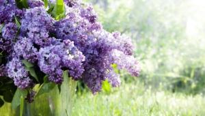 Lilac Desktop Images