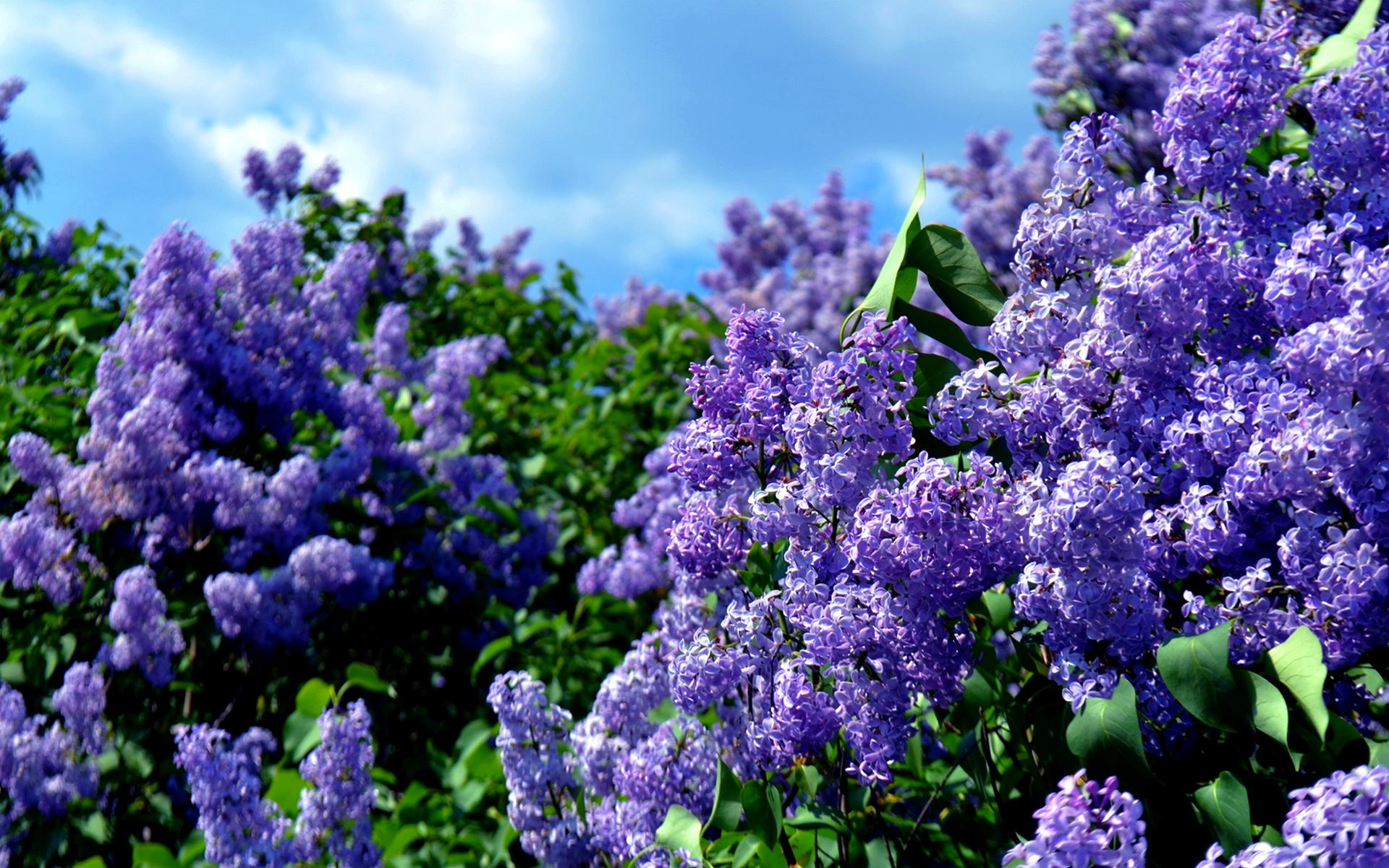 Lilac Desktop