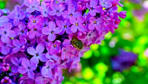 Lilac HD
