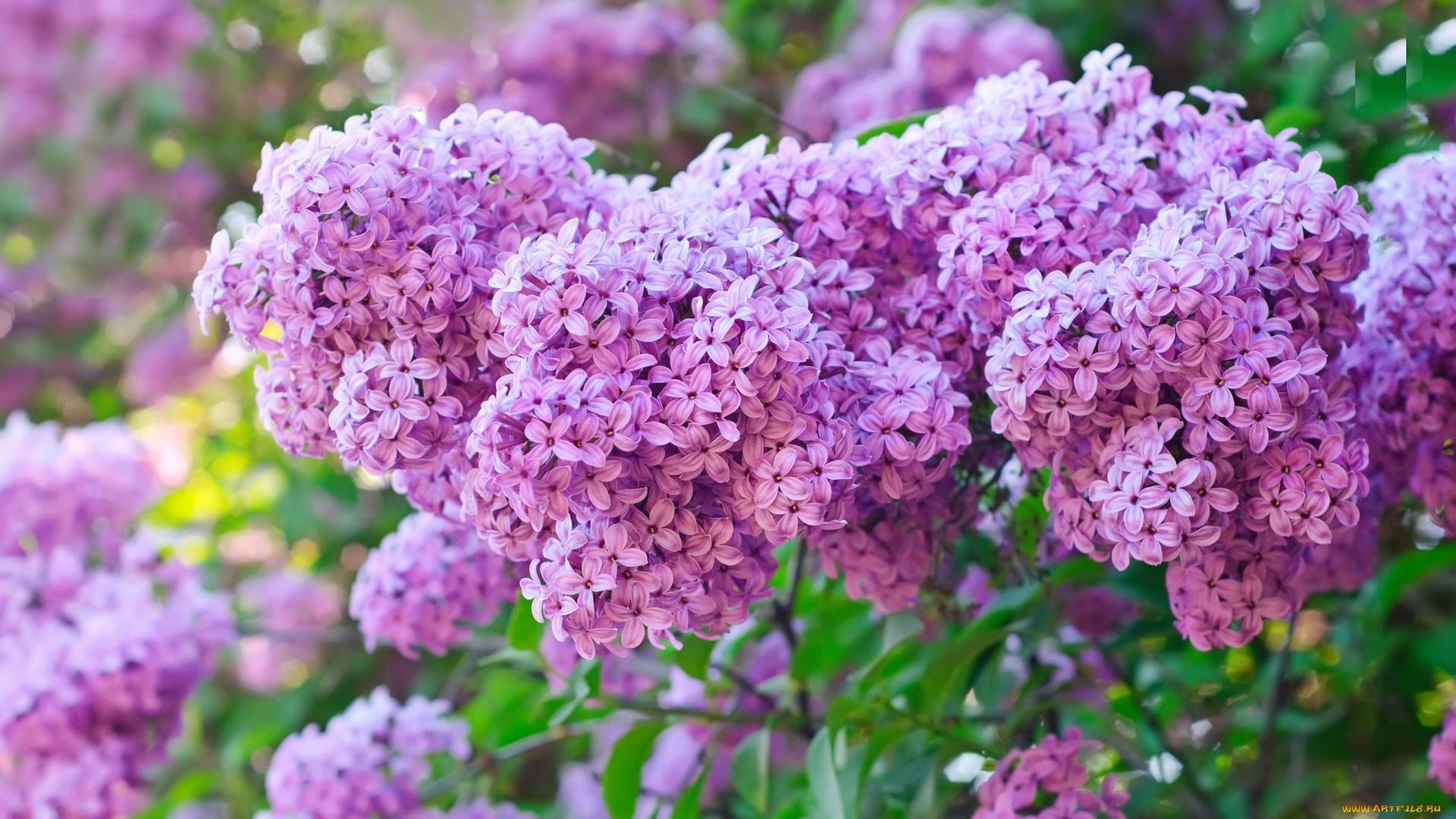 Lilac HD Desktop