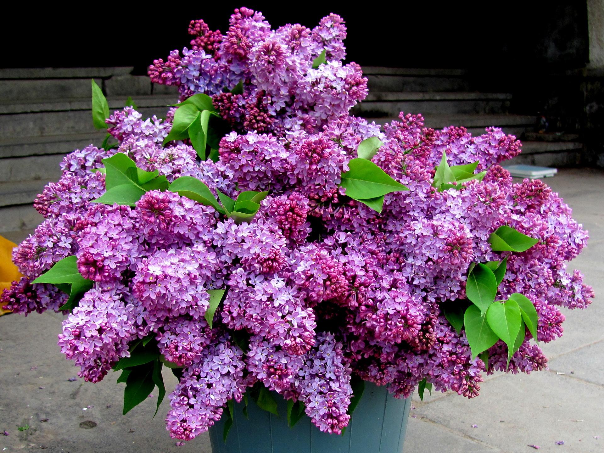 Lilac Photos