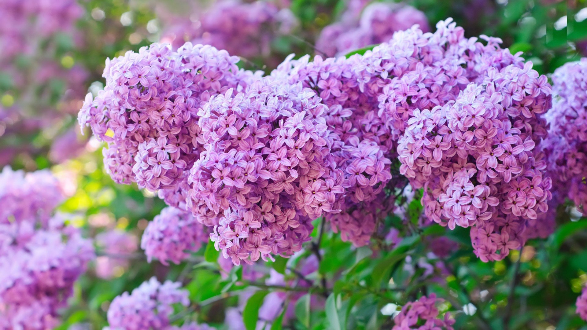 Lilac Wallpaper For Laptop