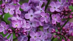 Lilac Widescreen