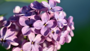 Lilac For Desktop Background