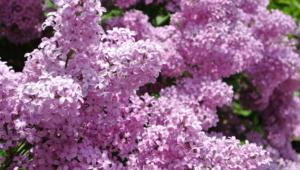 Lilac Full HD