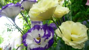 Lisianthus HD Wallpaper