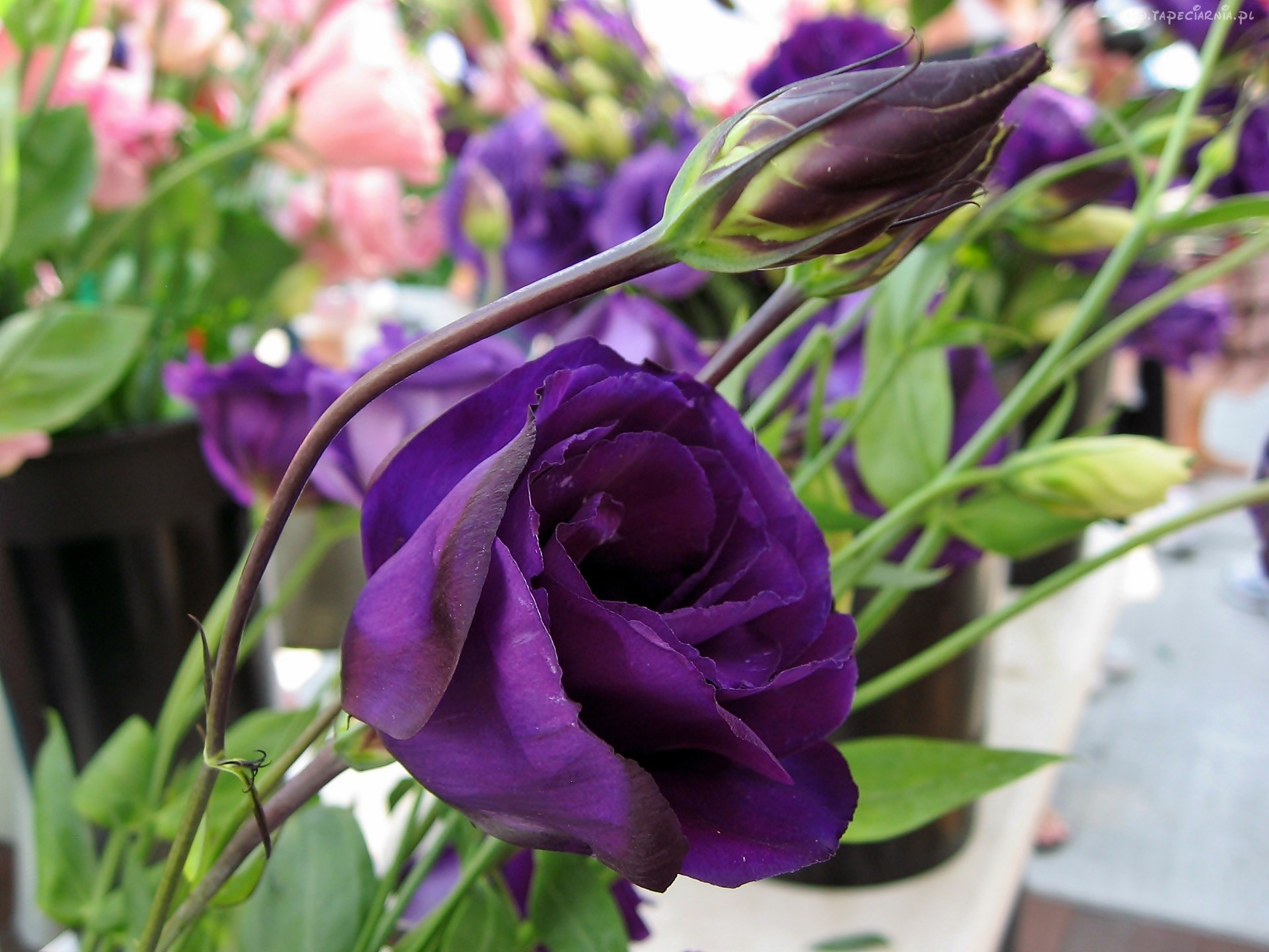 Lisianthus High Quality Wallpapers