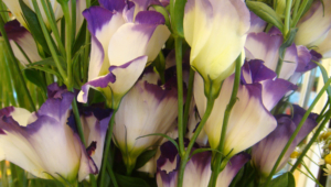 Lisianthus Images