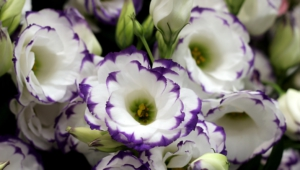 Lisianthus Wallpaper