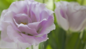 Lisianthus Wallpapers HD