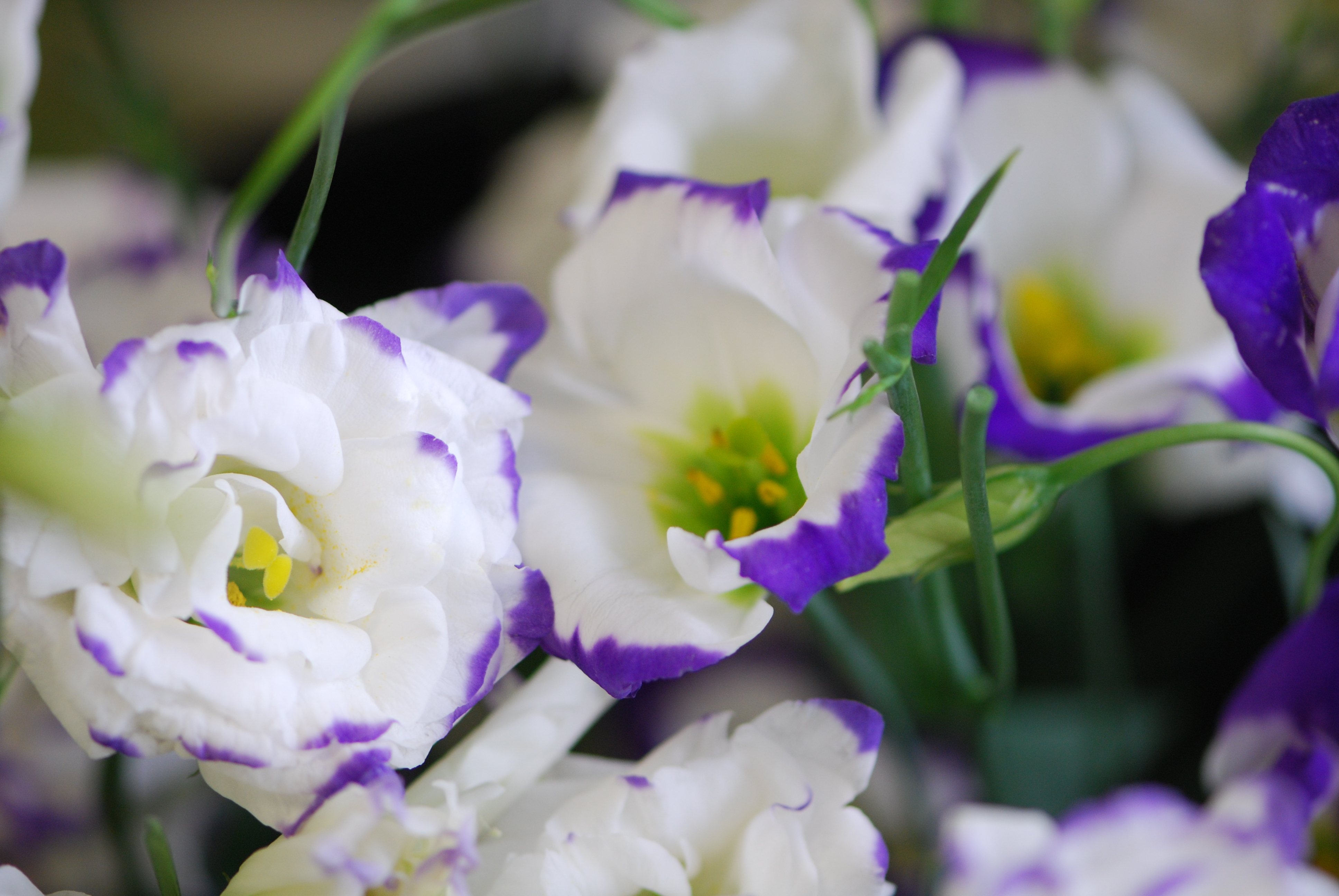 Lisianthus Wallpapers