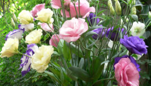 Lisianthus Widescreen