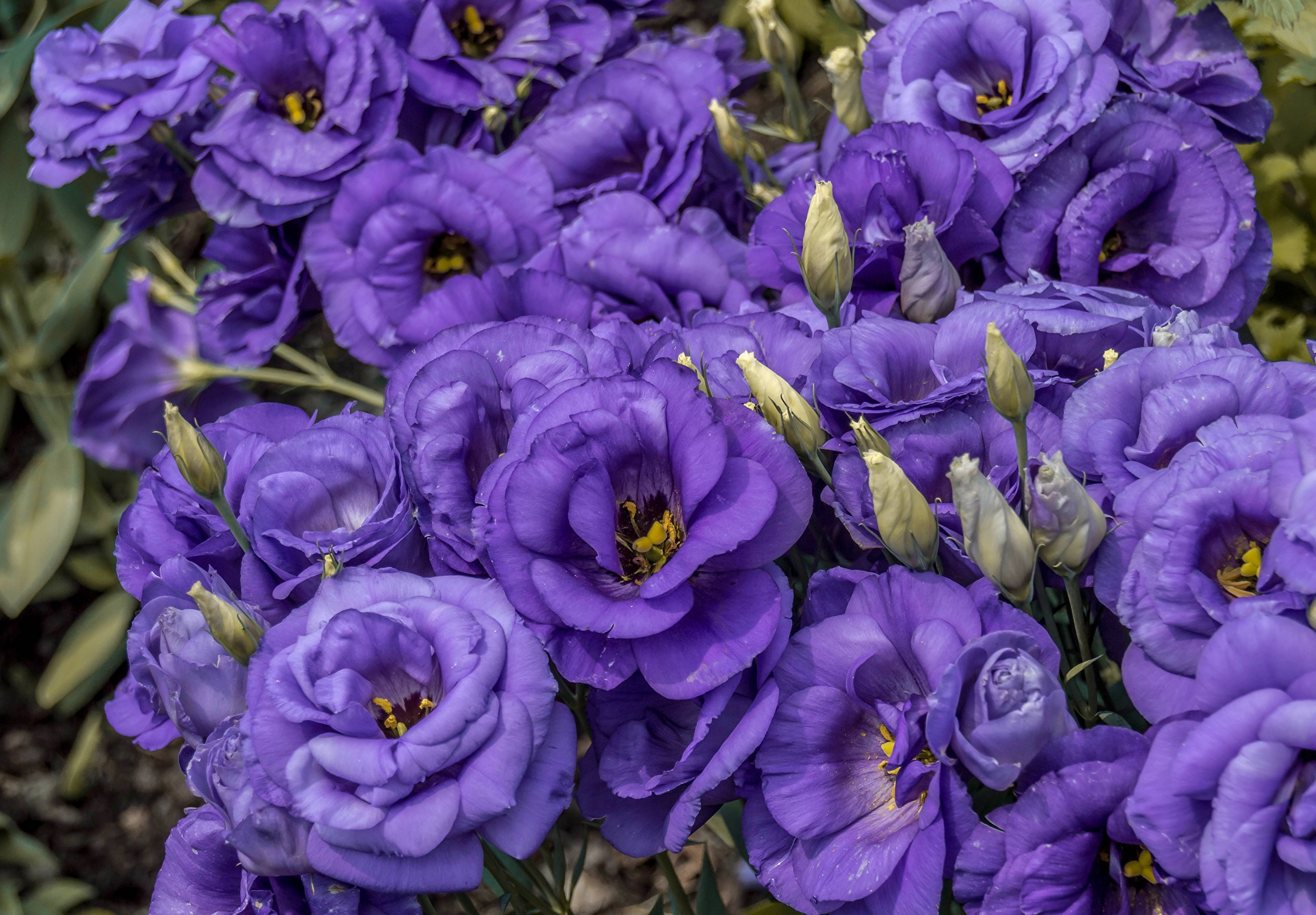 Lisianthus For Desktop
