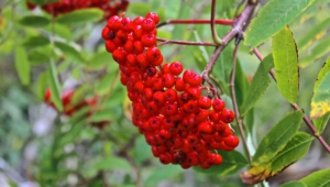 Mountain Ash HD Desktop