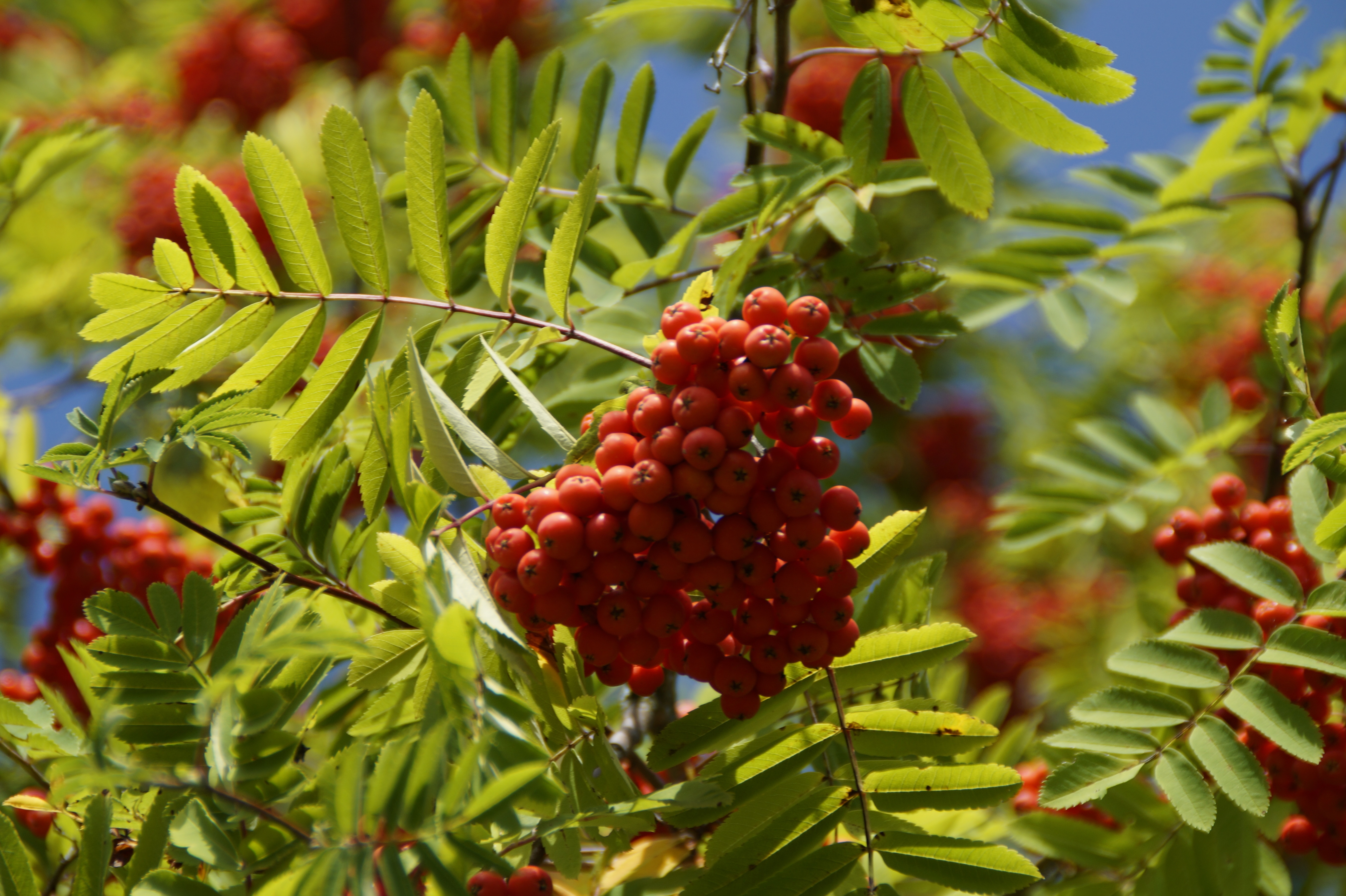 Mountain Ash Wallpapers HD