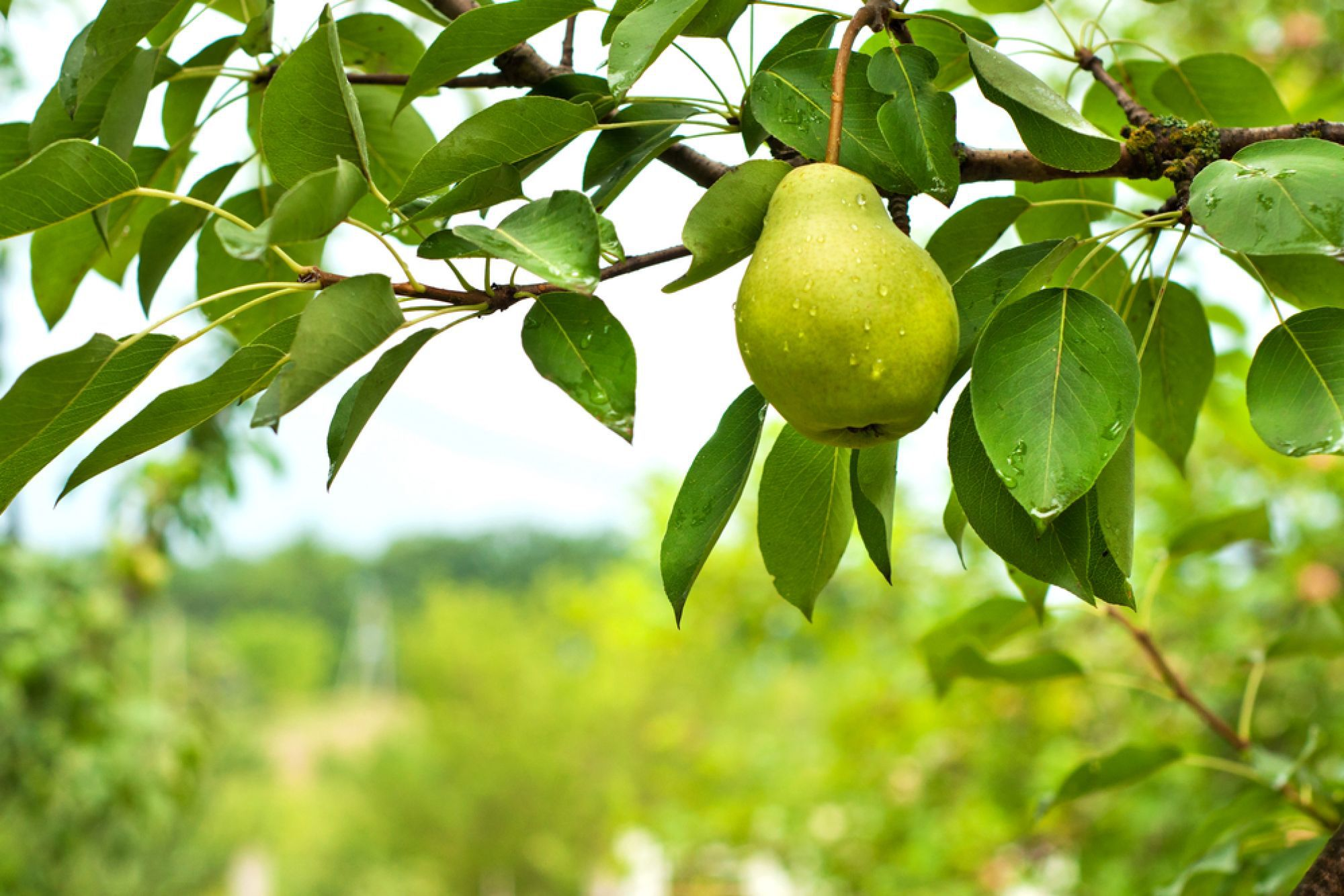 Pear Tree High Definition Wallpapers