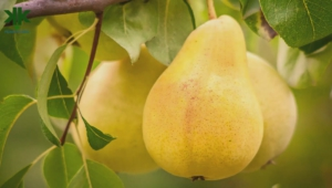 Pear Tree Photos