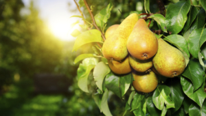 Pear Tree Widescreen