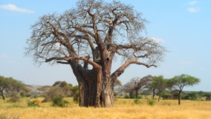 Pictures Of Baobab