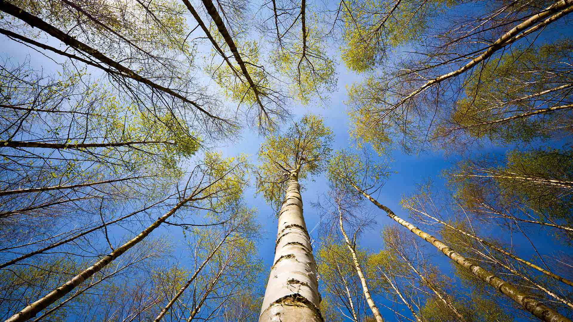 Pictures Of Birch